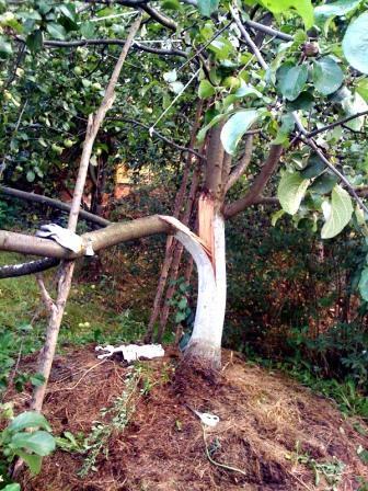 Наглядное фото разлома скелетной ветви яблони.