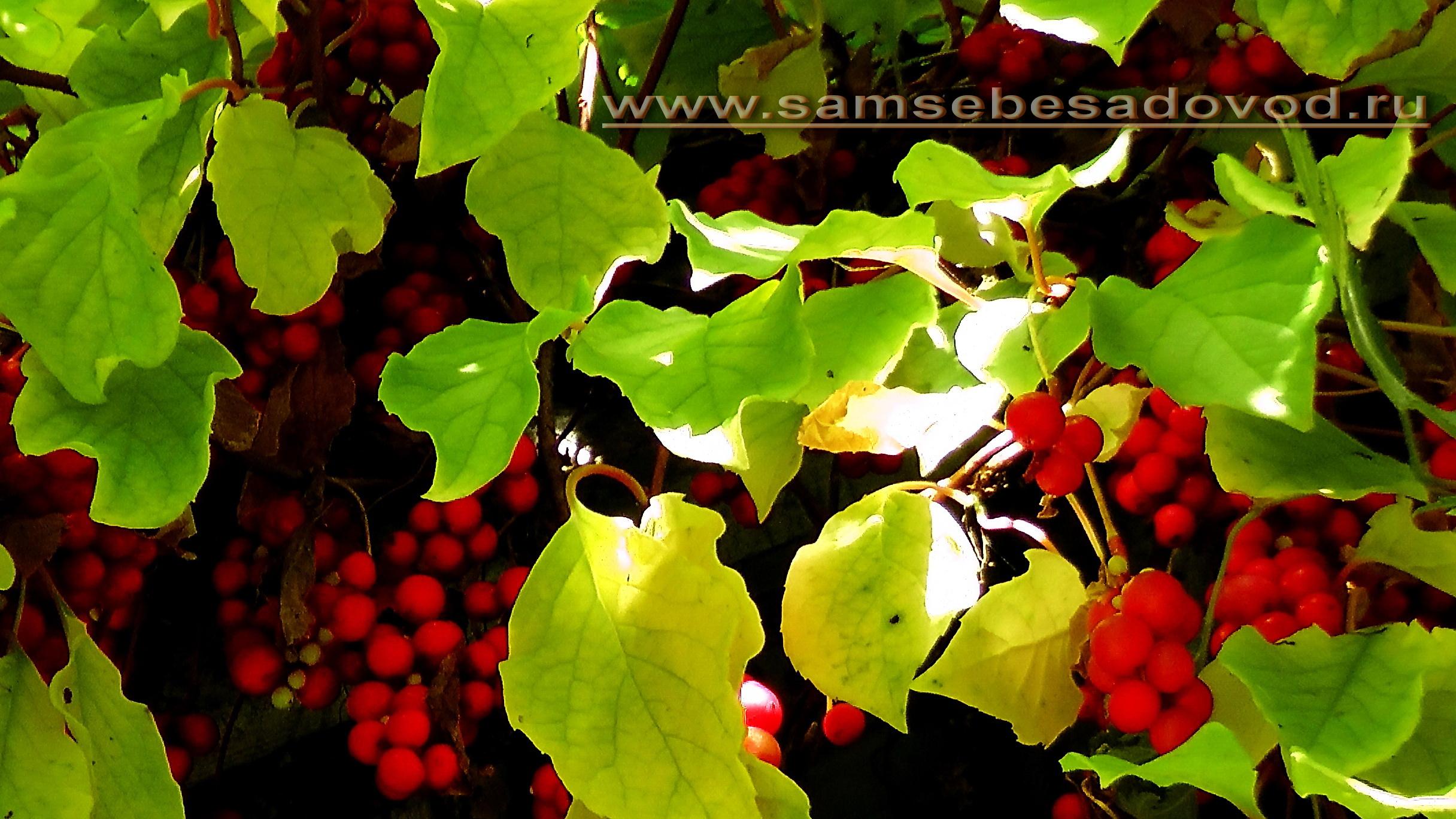 Лимонник китайский выращивание и уход целебные свойства