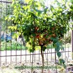 Плодоносит молодое деревце кизила