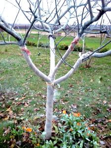 Защита яблони от зайцев агроволокном