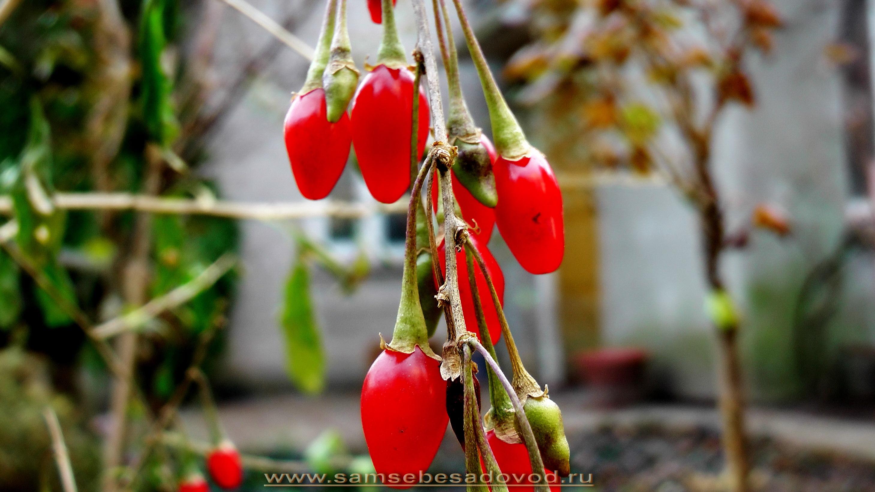 Дереза ягоды годжи выращивание